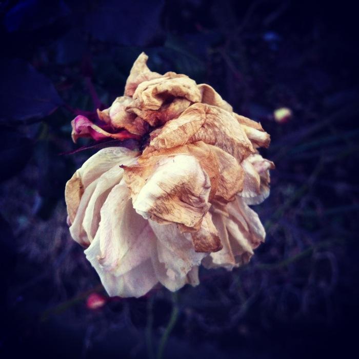 白い枯れた薔薇
