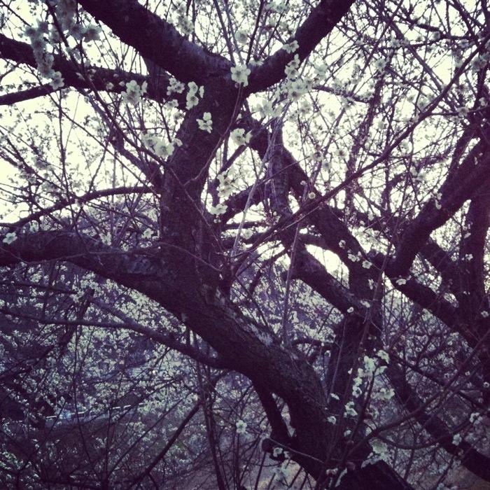 梅満開の日