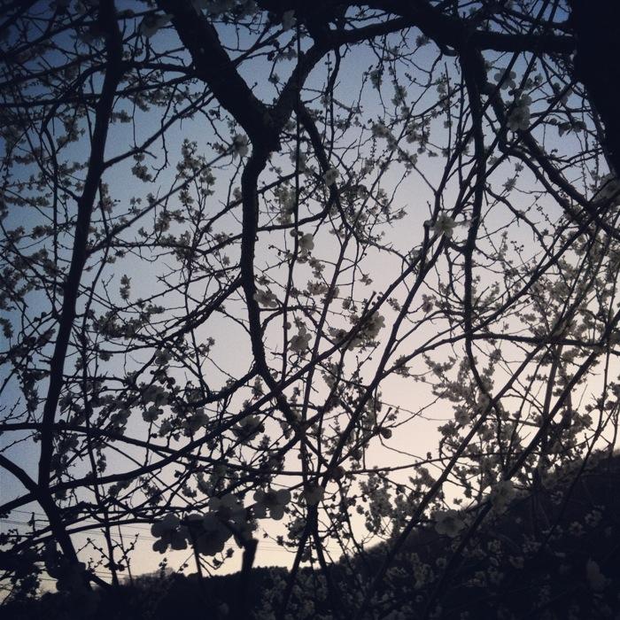 梅の花と夕空