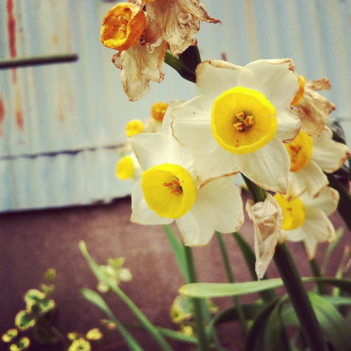 黄色い花と錆たトタン