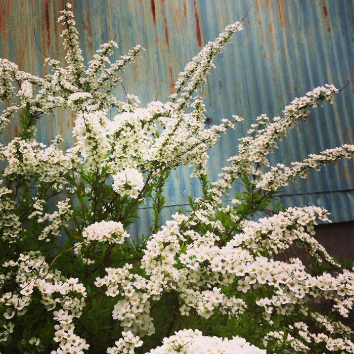 白い花と錆びたトタン
