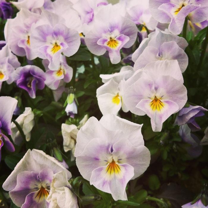 薄紫の花たち