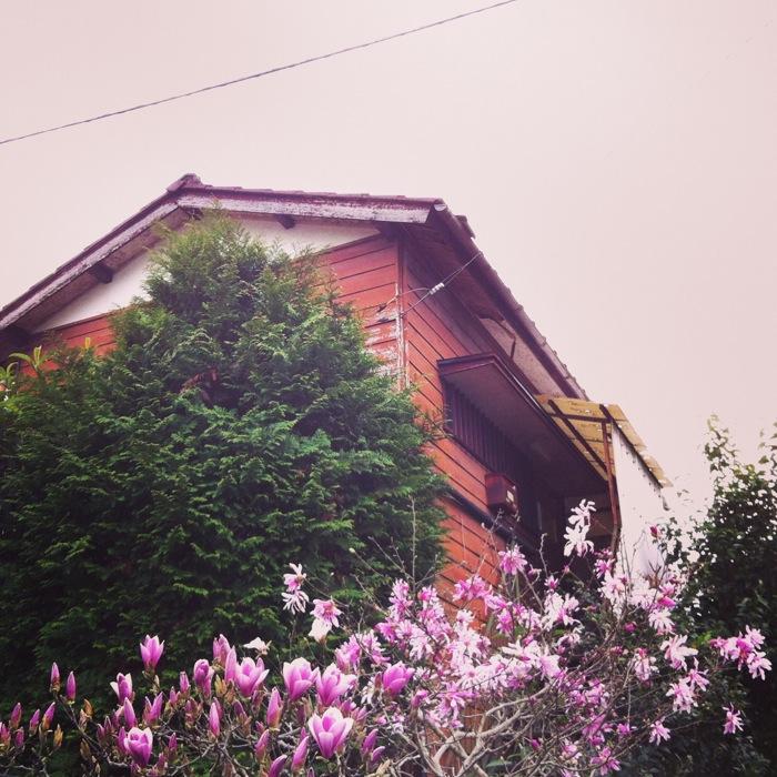 紅い木蓮と民家